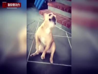 小狗随乐起舞 样子滑稽可爱