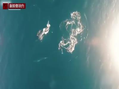 大学生用无人机无意拍到濒危鲸鱼猎食画面
