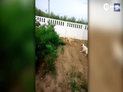 印英雄狗狗大战1.5米长大蛇 保护主人