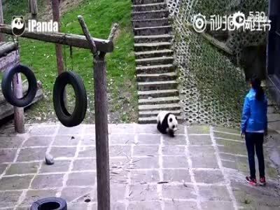 大熊猫宝宝树顶跌落从天而降 爬起后一脸懵逼
