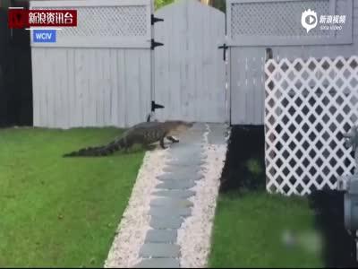 """鳄鱼拜访民宅起身""""敲门"""" 发现没人后离开"""