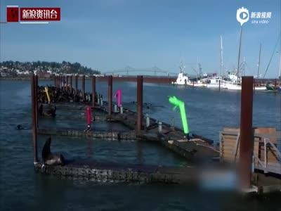 美国一码头遭海狮霸占 渔民用充气舞者驱赶