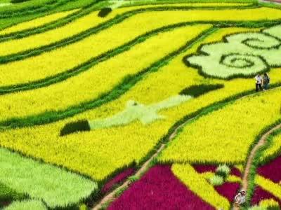 """航拍昆明彩色稻田:水稻作笔,绘出""""睡美人"""""""