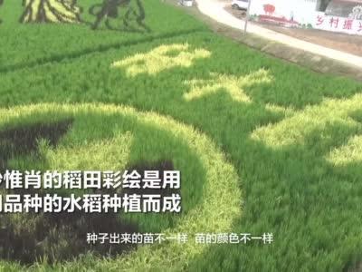 """以田地为""""纸"""",用水稻""""着色"""" 农民艺术家绘出精美稻田画"""