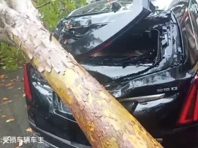 郑州街头大树倒地成拦路虎 附近居民:已经是第三棵了