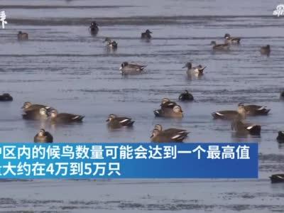 迁徙的鸟来了!2万多只雁鸭正在崇明嬉戏,观鸟已入黄金期