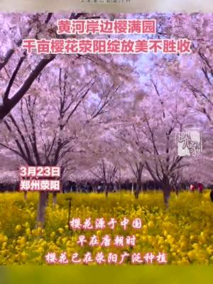 黄河岸边 千亩樱花绚烂绽放