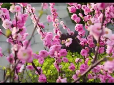 【视频】甘肃天水:春来秦州花枝俏
