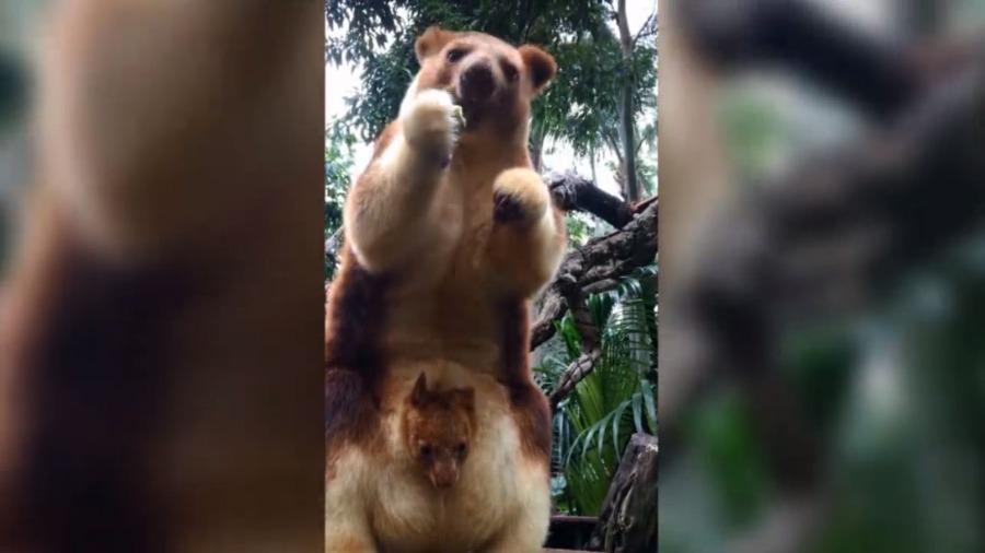萌爆了!罕见树袋鼠宝宝在澳动物园出生