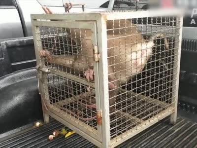 约束泰国农民训练猴子仆从摘椰子 ,Costco宣布停留从泰国进口