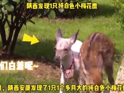 通体雪白!#陕西发现1只纯白色小梅花鹿#