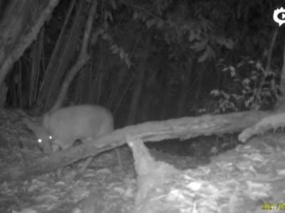 云南昌宁红外相机拍摄到林麝母子影像